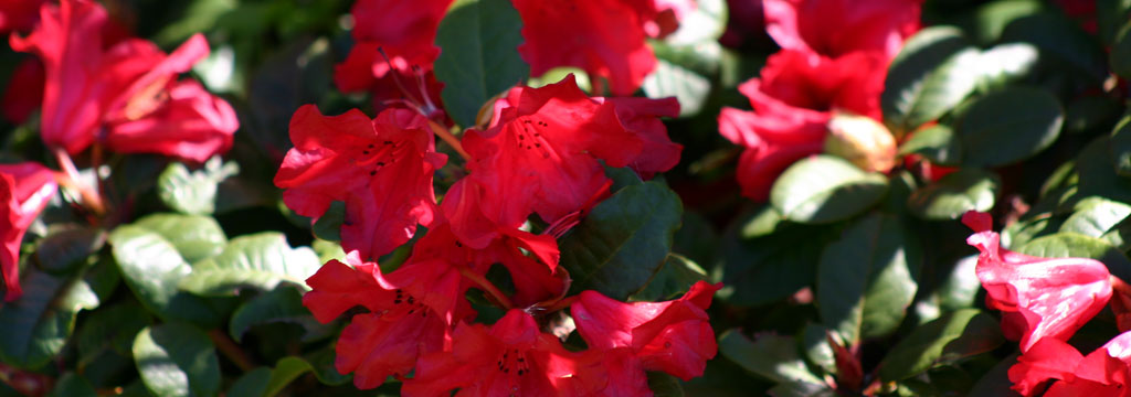 Sklepy Ogrodnicze Migrola rododendron